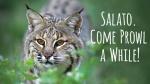 Salado Bobcat