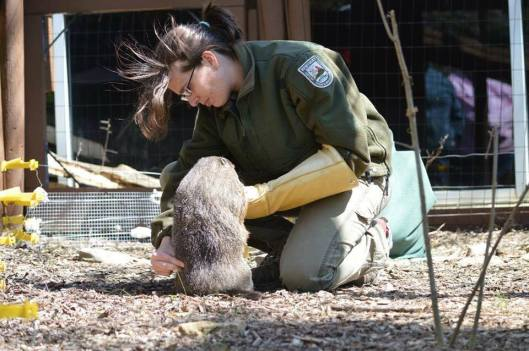 Groundhog Training at Salato Wildlife Education Center - 8-18-16